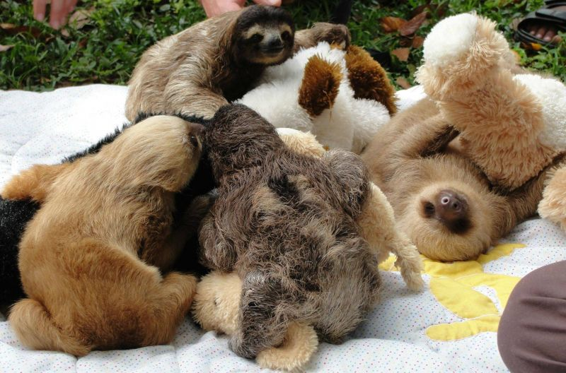 Group of sloths
